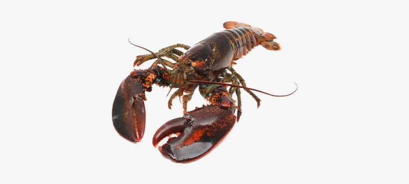 Live Canadian Hard Shell American Lobster Transparent Png 510x300 Free Download On Nicepng