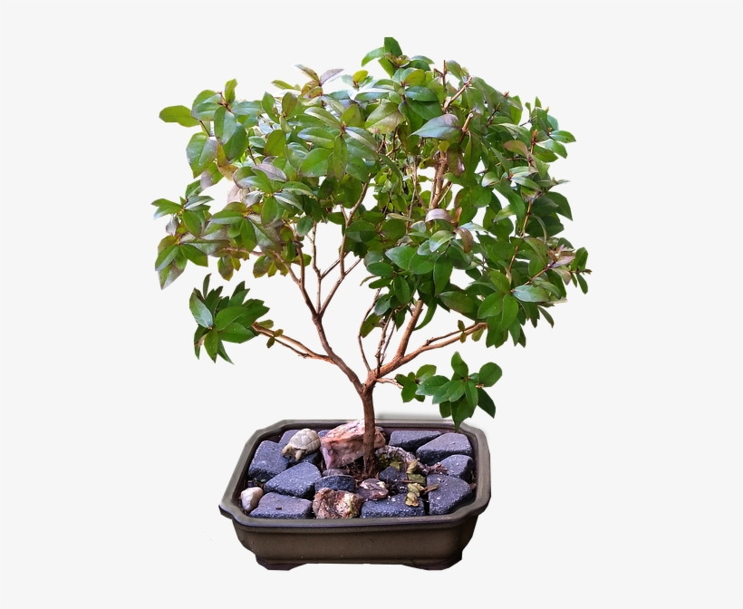 Ficus Bonsai Tree Transparent Png 616x640 Free Download On Nicepng
