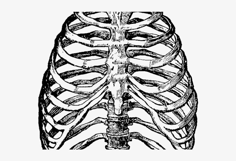 Rib Cage Diagram