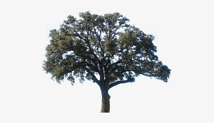 Realistic Clipart Oak Tree Oak Tree Transparent Png 500x394