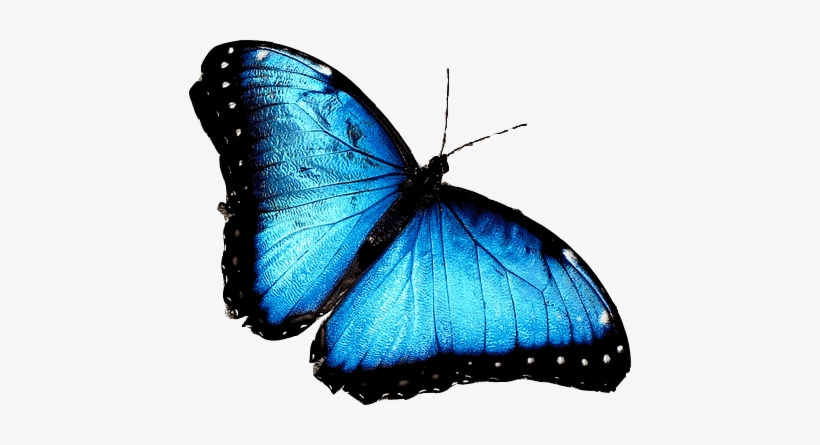 Blue Butterfly Png - Blue Morpho African Butterfly Transparent PNG