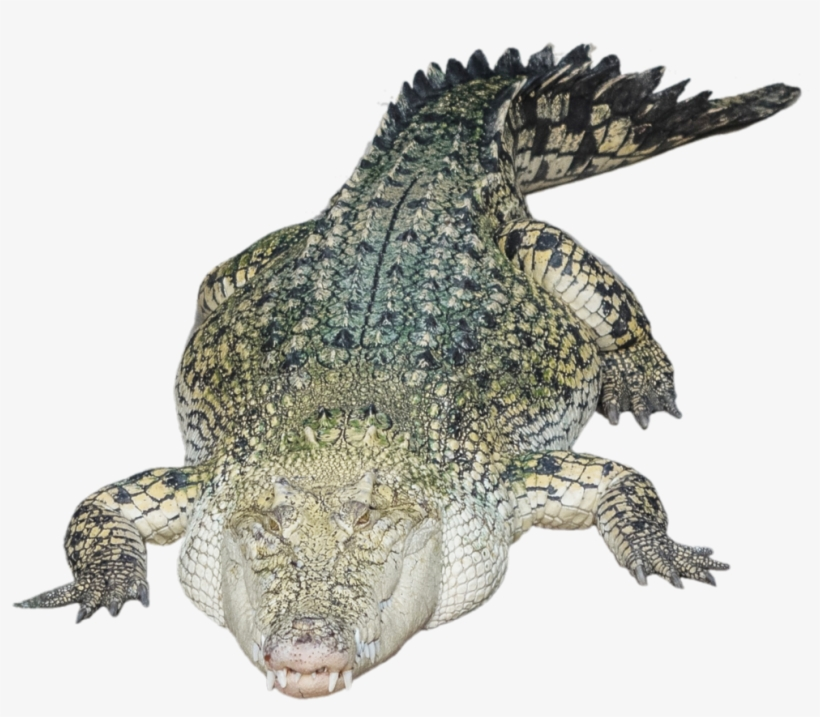 Alligator Png Photo - Tirecoverpro Full Color Night Owl