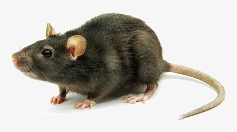 Rat Mouse Png Transparent Rat Mouse Marron Colores De Ratas Transparent Png 749x377 Free Download On Nicepng Rat carrying cheese, ratatouille film animation pixar, rat, animals, dog like mammal png. rat mouse png transparent rat mouse