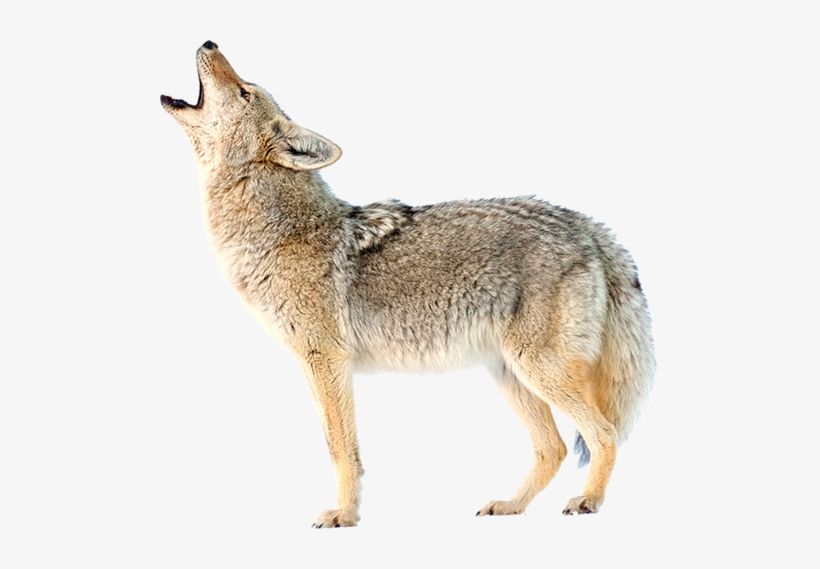 Coyote - Coyote Png Transparent PNG - 500x489 - Free