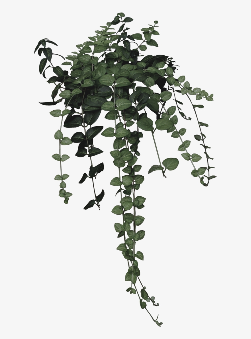 Ivy Clipart Nature Aesthetic Plant Drawing Png Transparent Png 596x1024 Free Download On Nicepng
