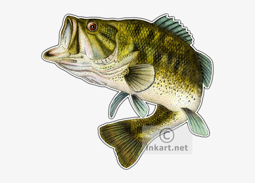 Largemouth Bass Drawing At Getdrawings Largemouth Bass Fish Png