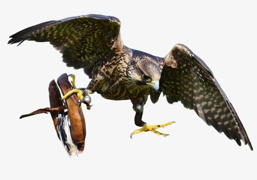Download Free Falcon Birds Png Transparent Images Transparent Bird Of Prey Transparent Png 960x655 Free Download On Nicepng