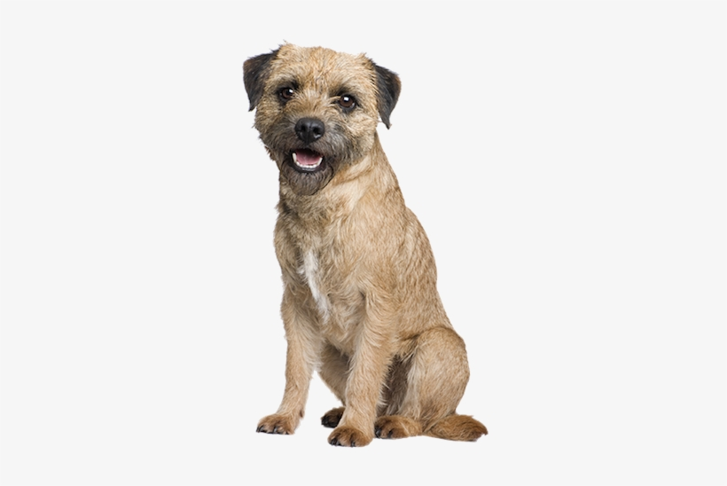 Why Choose A Border Terrier To Be The Star Of Your - Border ...
