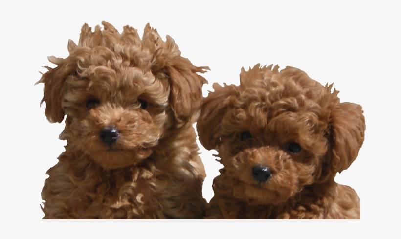 Adanac Poodles Of Canada Toy Poodle For Sale Ontario