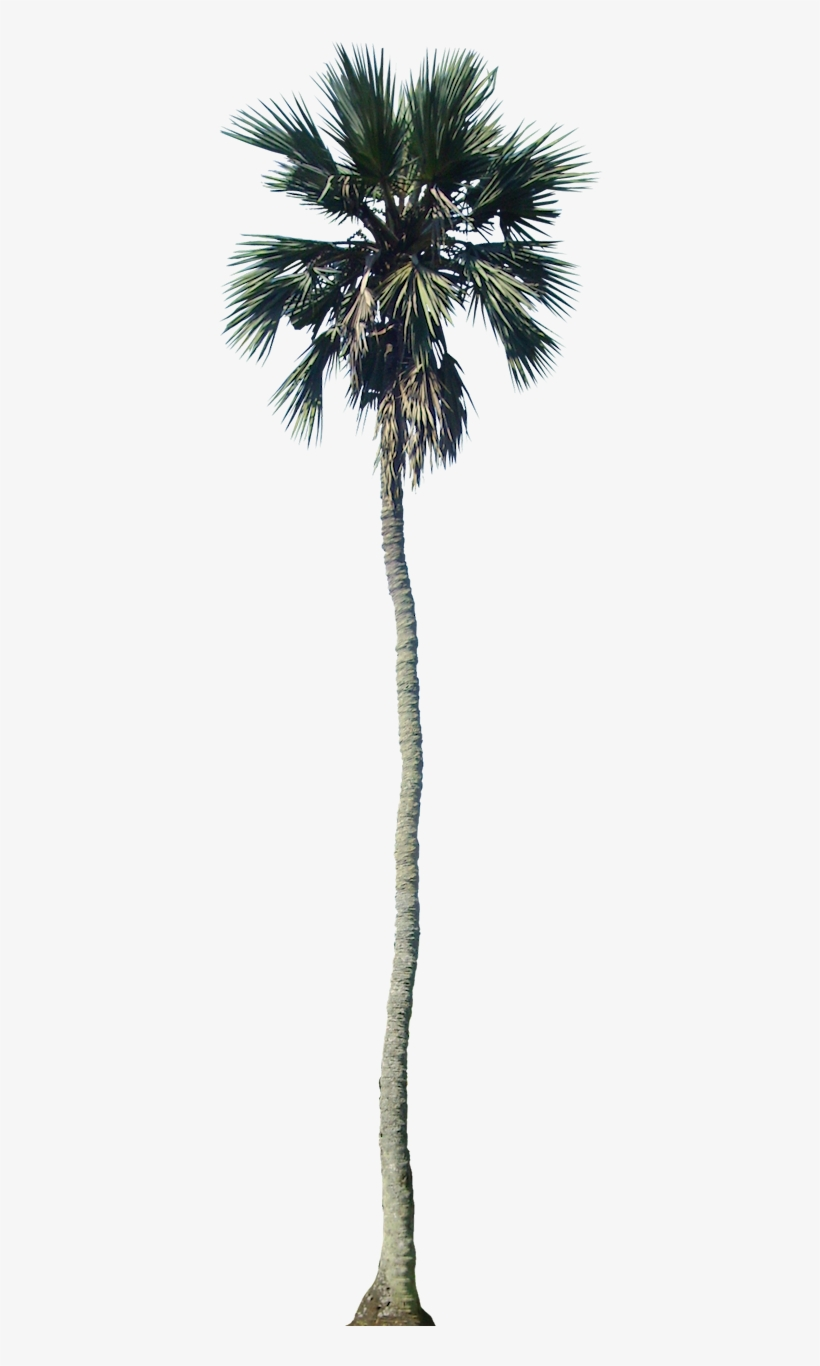 tropical plant pictures - palm tree cut out png transparent png - 405x1308