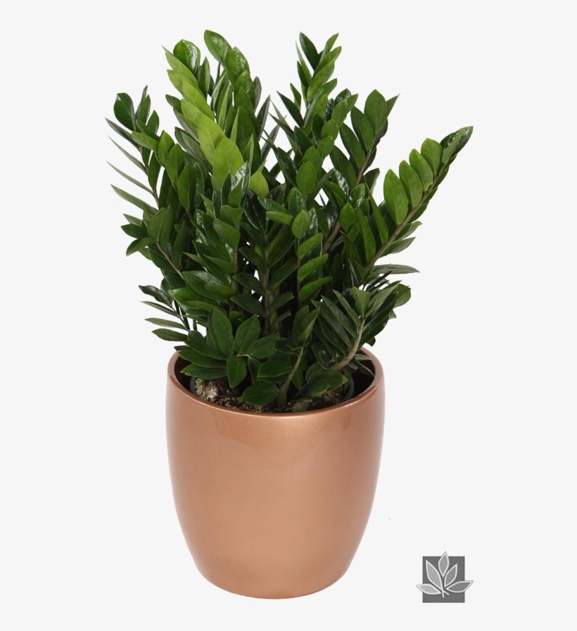 Zamioculcas Zamiifolia Or \'zz\' Plant - Pflanzen Für Innen ...