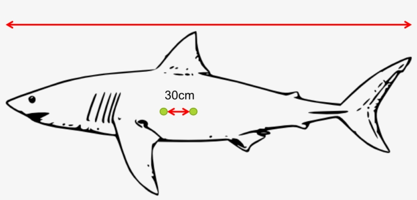 Diagram Of A Great White Shark