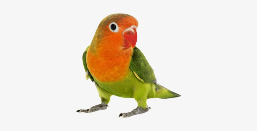 Pet Bird Products - Love Birds Png Hd Transparent PNG - 450x350