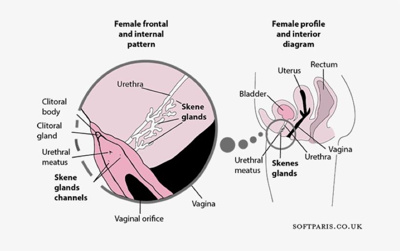 Sexual Intercourse And Cerebral Aneurysmal Rupture