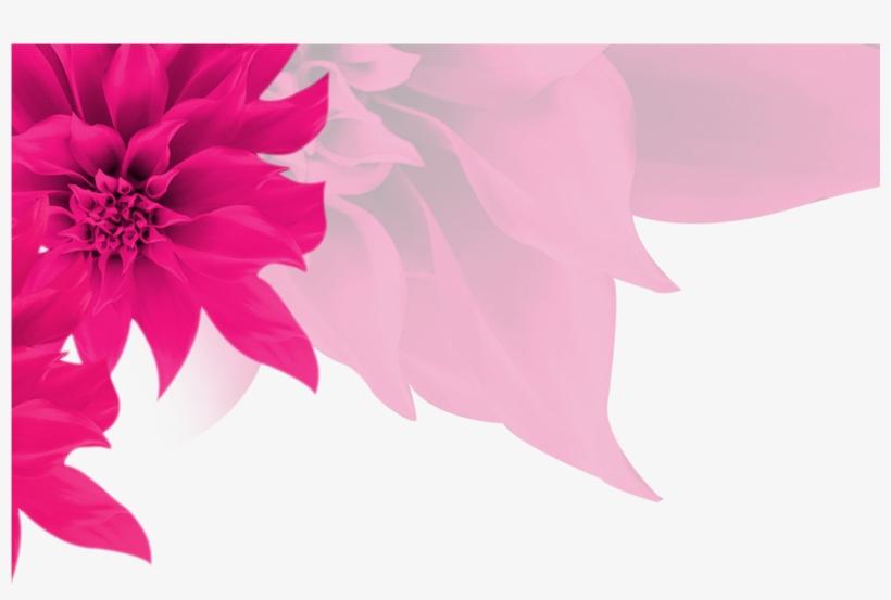 Fundo Rosa Com Flores Png Poinsettia Transparent Png