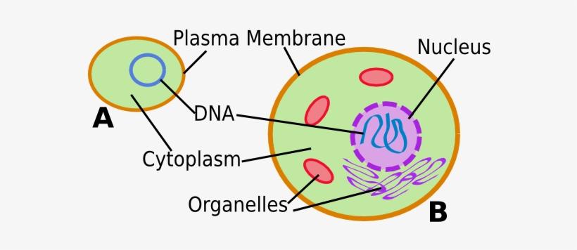 Cell - Prokaryotic And Eukaryotic Cells Simple Transparent ...