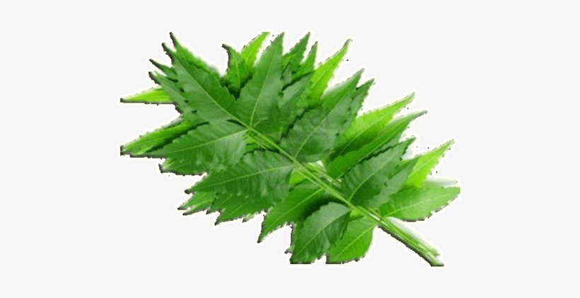 Neem Leaves - Neem Powder (for Hair And Skin) Transparent