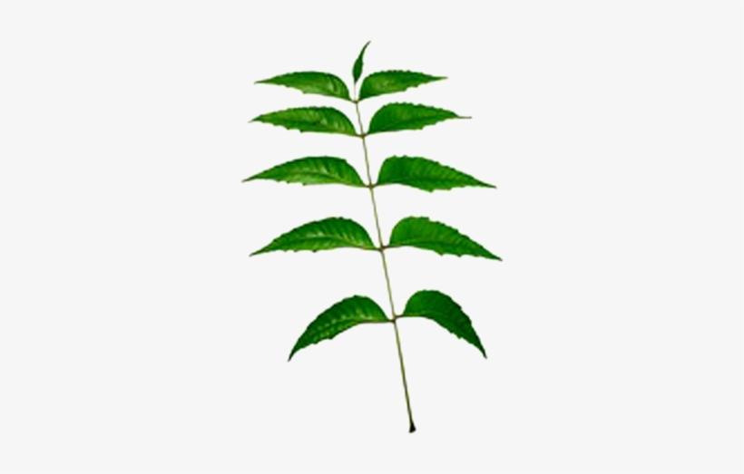 Neem Leaf Png Download Neem Tree Leaves Transparent Transparent