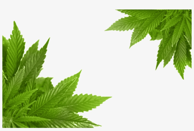 Free Png Cannabis Png Images Transparent Marijuana Frame Png Transparent Png 850x532 Free Download On Nicepng Cannabis smoking drawing cartoon, weed, leaf, plant stem png. marijuana frame png transparent png