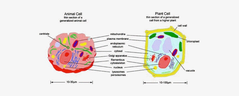 Excellent Animal Cell Model Diagram Project Parts Structure Labeled Wiring Cloud Tobiqorsaluggs Outletorg