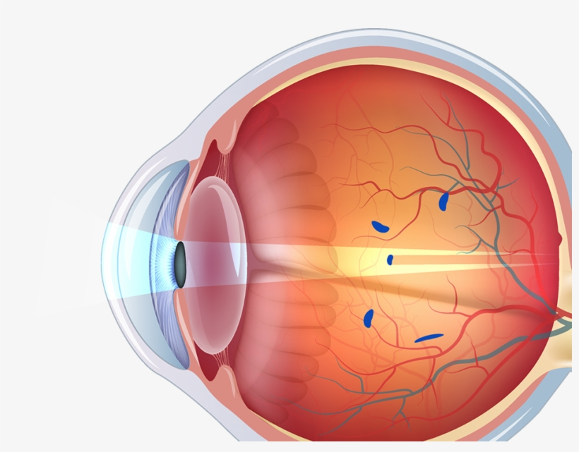 Structure Of Human Eye Without Label Transparent PNG ...