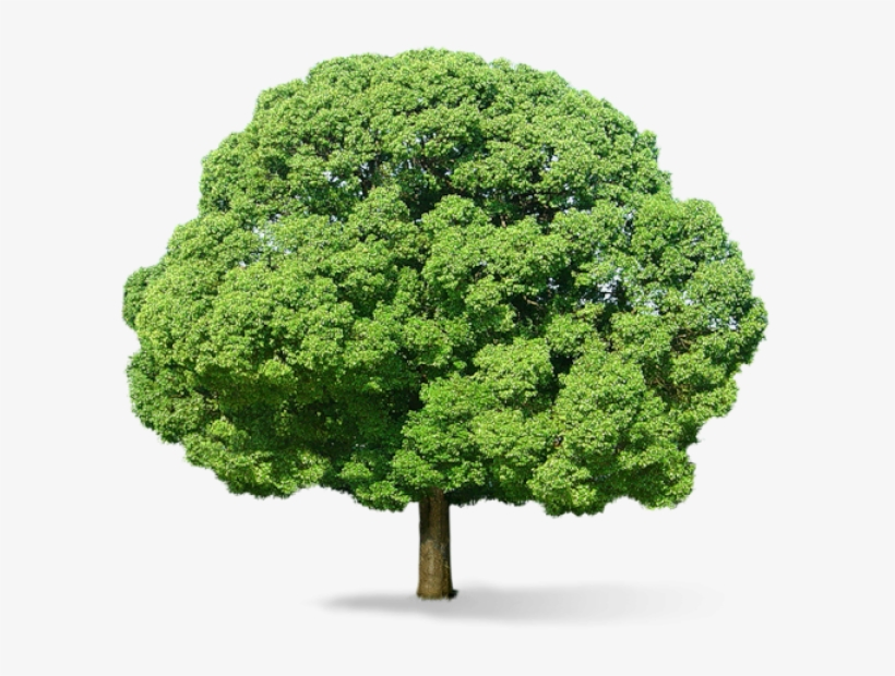 Neem Tree Png Green Tree Png Transparent Png 600x540 Free