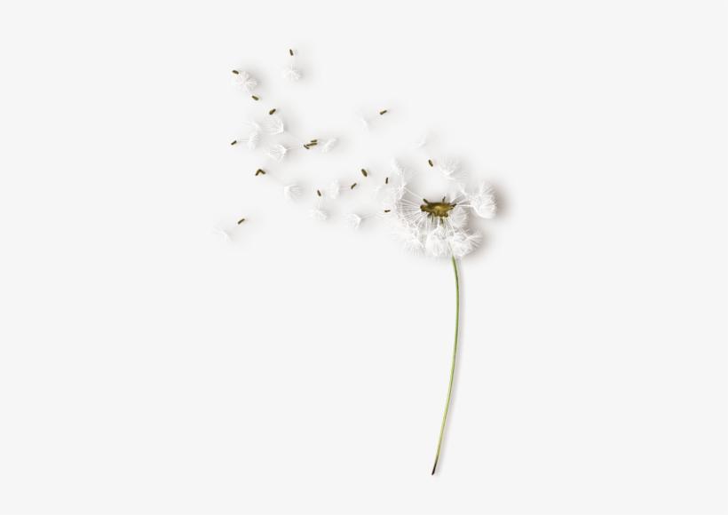 nld Dandelion Sh » On Yandex - Белые Одуванчики Пнг