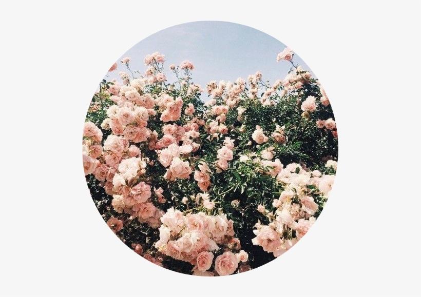 Tumblr Aesthetic Flowers Flower Rose Roses Pink Flower Aesthetic