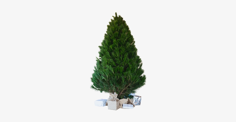 Small Tree - Pine Trees Cut Out Transparent PNG - 400x400