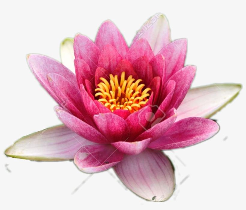 Pink White Lotus Flower Go Save Freetoedit Lotusflo National