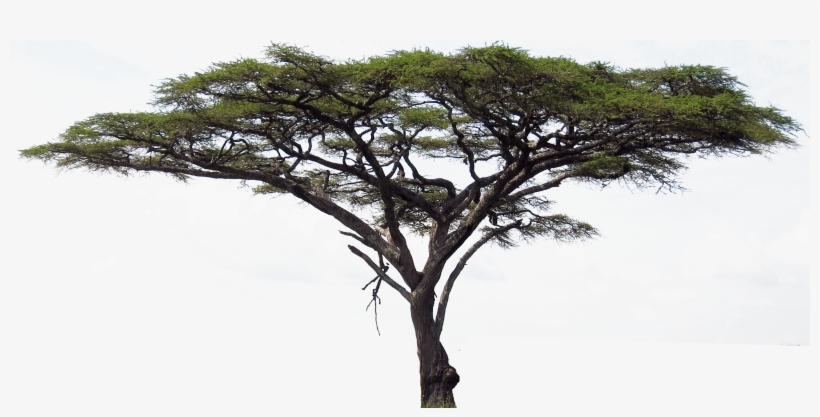 Image Freeuse Stock Accacia Clip Art Net - Acacia Tree In ...