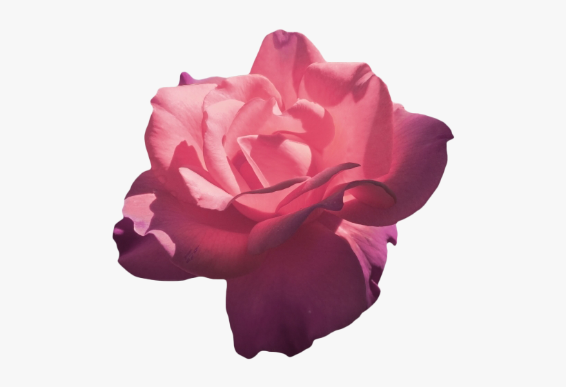 Magenta Roses Flower Aesthetic Png Transparent Png 500x483