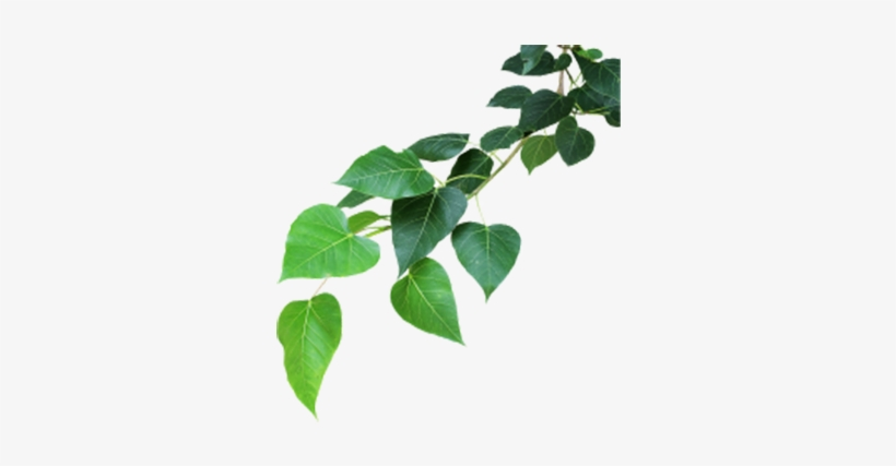 Banyan Tree Leaf Png Transparent Png 368x359 Free Download On Nicepng A leaf is an organ of a vascular plant and is the principal lateral appendage in this gallery green leaves we have 66 free png images with transparent background. banyan tree leaf png transparent png