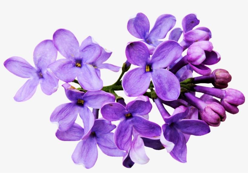 Flores Moradas Png Flowers Draw Tumblr Png Transparent Png
