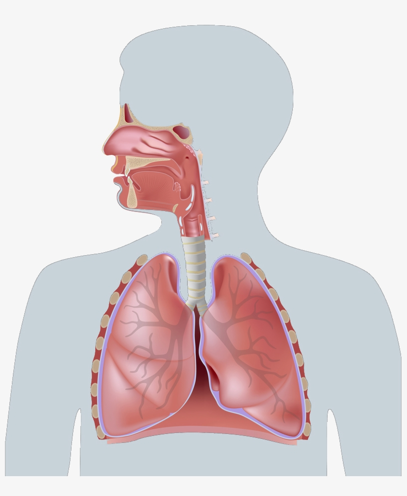 Pari Product Finder Human Respiratory System Parts And Function