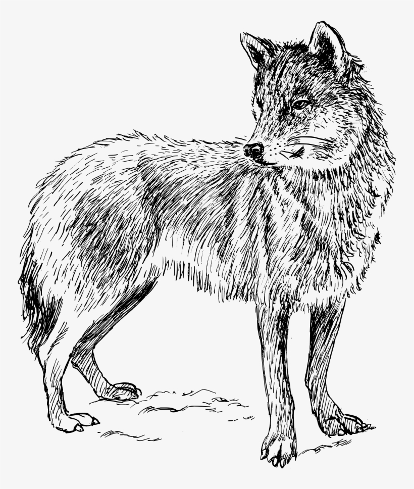 Drawing Black Wolf Arctic Wolf Computer Icons Gray Real Animal Colouring Pages Transparent Png 634x750 Free Download On Nicepng