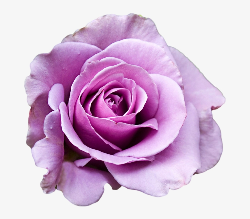 Purple Rose Clipart Png Tumblr - Purple Rose Transparent ...