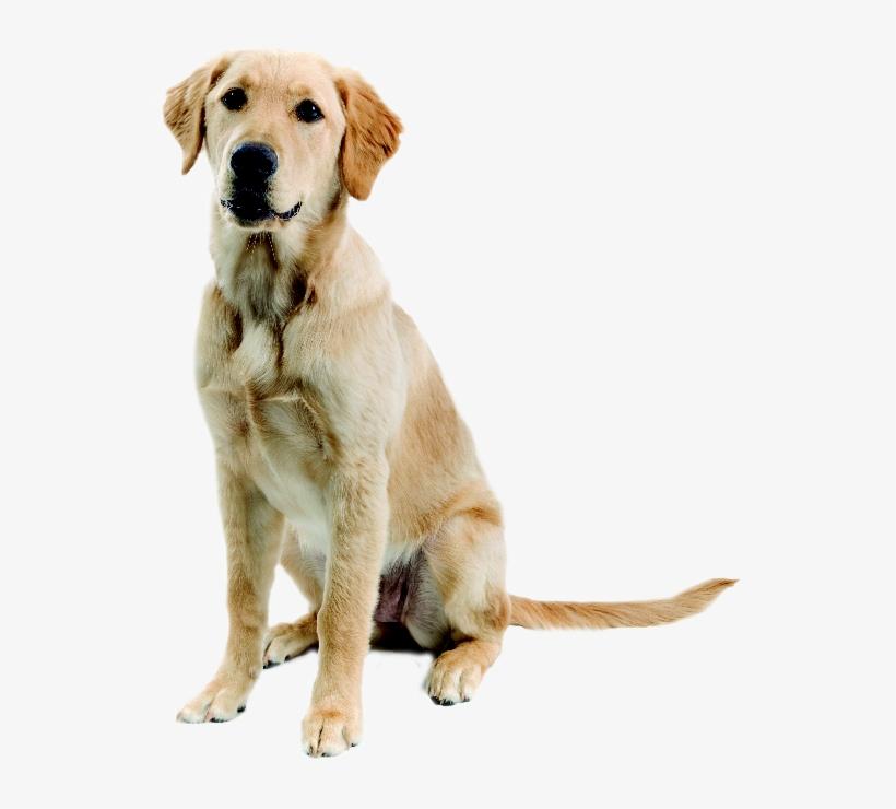 Golden Retriever Labrador Labrador Mix Golden Labrador Golden