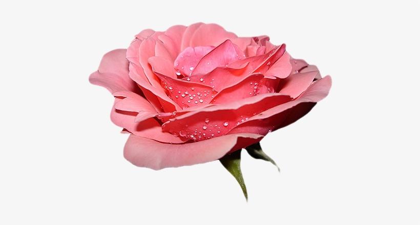 Gifs De Flores Com Fundos Transparentes Flores Png Red