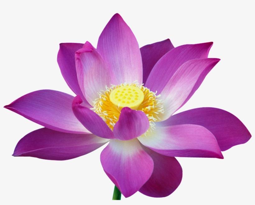 Beautiful Lotus Flower Imagens Da Flor De Lotus Transparent Png