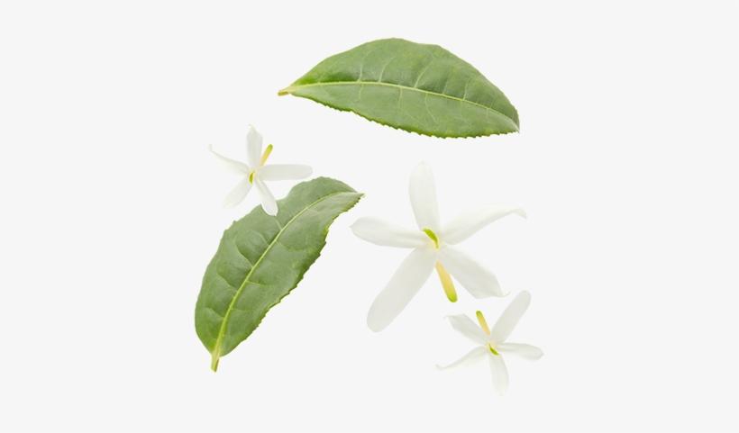 Green Tea Leaves Jasmine Flowers Jasmine Tea Leaf Png Transparent Png 400x400 Free Download On Nicepng