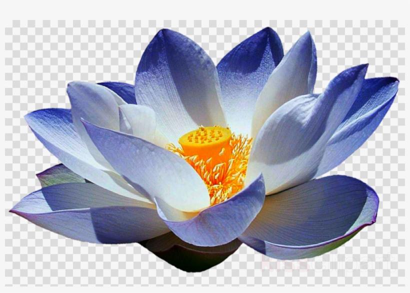 Blue Lotus Flower Png Clipart Sacred Lotus Egyptian Sacred Lotus