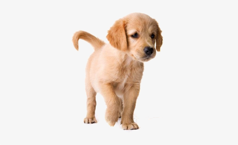 Golden Retriever Short Hair Puppies Transparent Png 558x440 Free Download On Nicepng