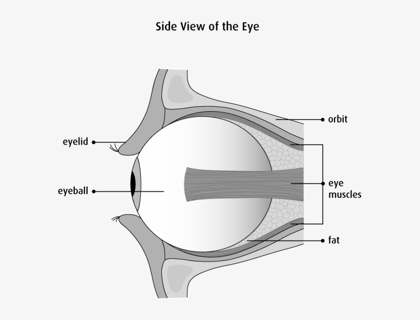 Graphic Of The Side View Of The Eye - Ball And Socket Joint