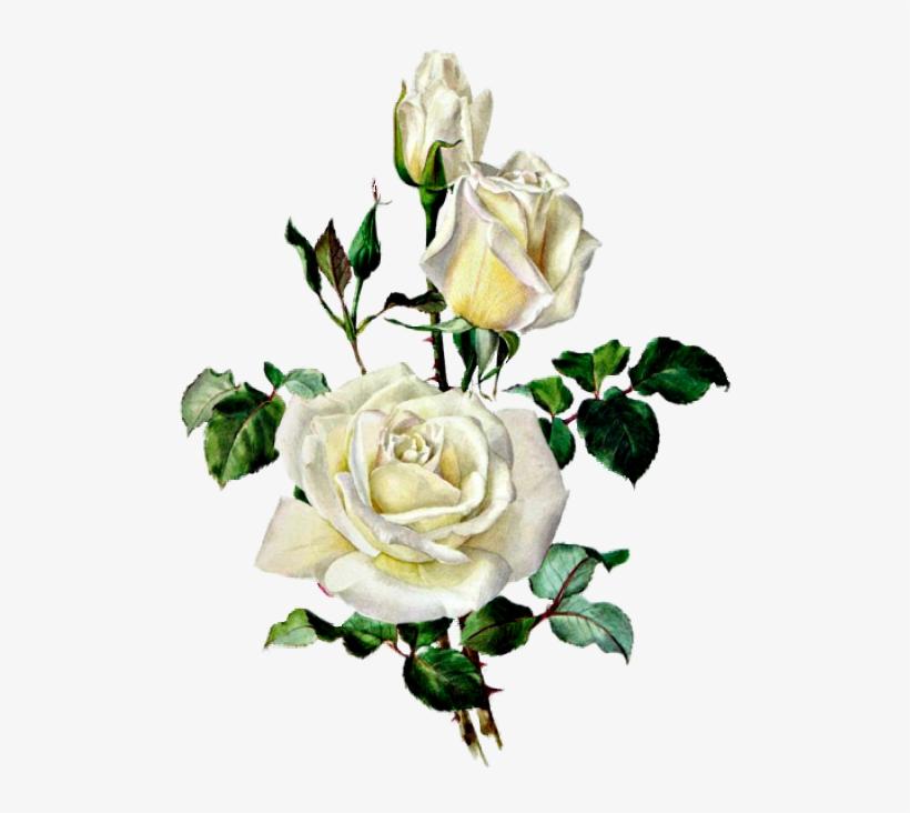 Rozy Botanical Illustration Botanical Drawings Rose Vintage Rose