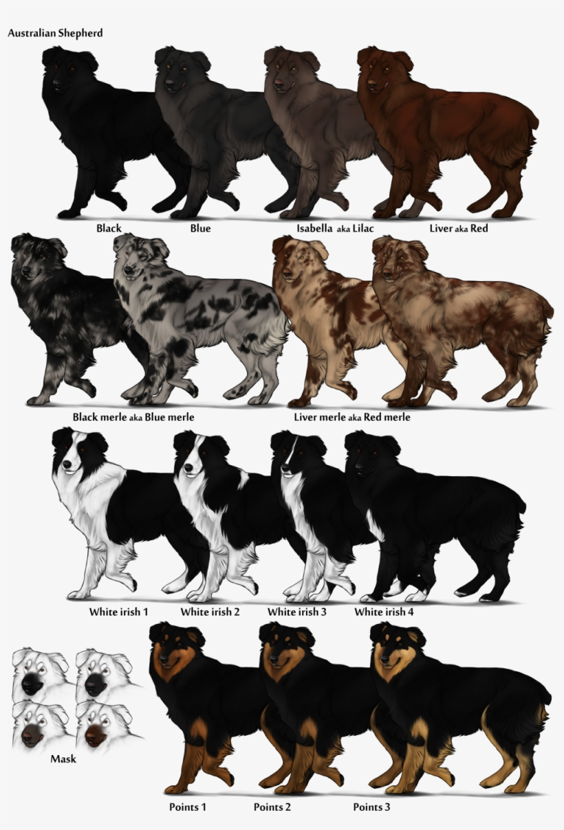 Image Australian Shepherd Color Chart Png Herding Dog Australian Shepherd Colors Transparent Png 1015x1443 Free Download On Nicepng