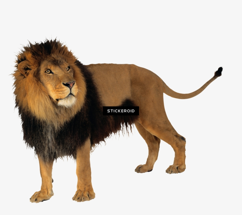 Lion Full Hd Lion Png Transparent Png 2347x1968 Free Download On Nicepng