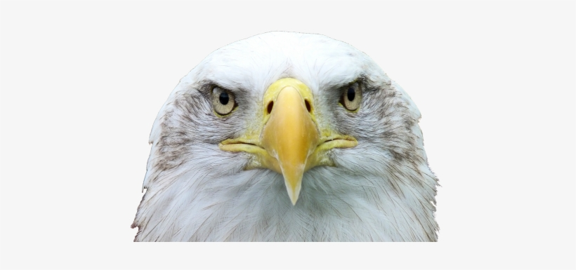 Adler,white Tailed Eagle,bald Eagle,raptor,bird Of - Aguia