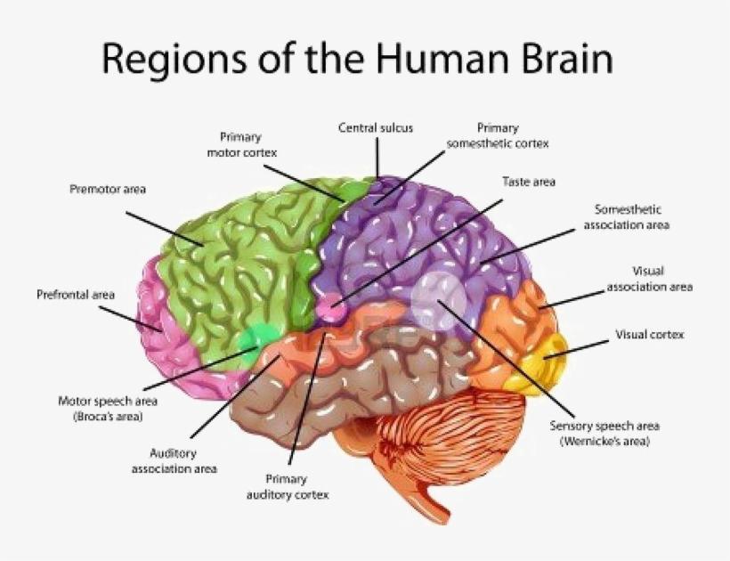 Brain Png Transparent Image Labeled Brain Anatomy Transparent Png