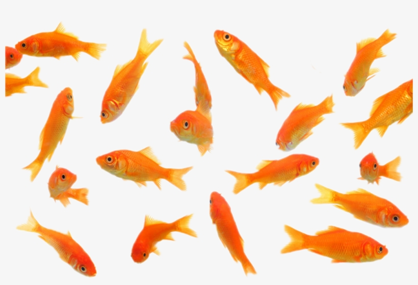 Fish Sticker Transparent Background Gold Fish Png Transparent Png 1024x650 Free Download On Nicepng